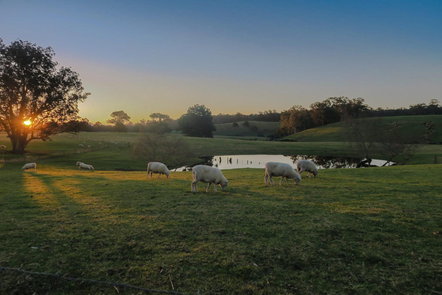 Tostaree_sheeps_dawn