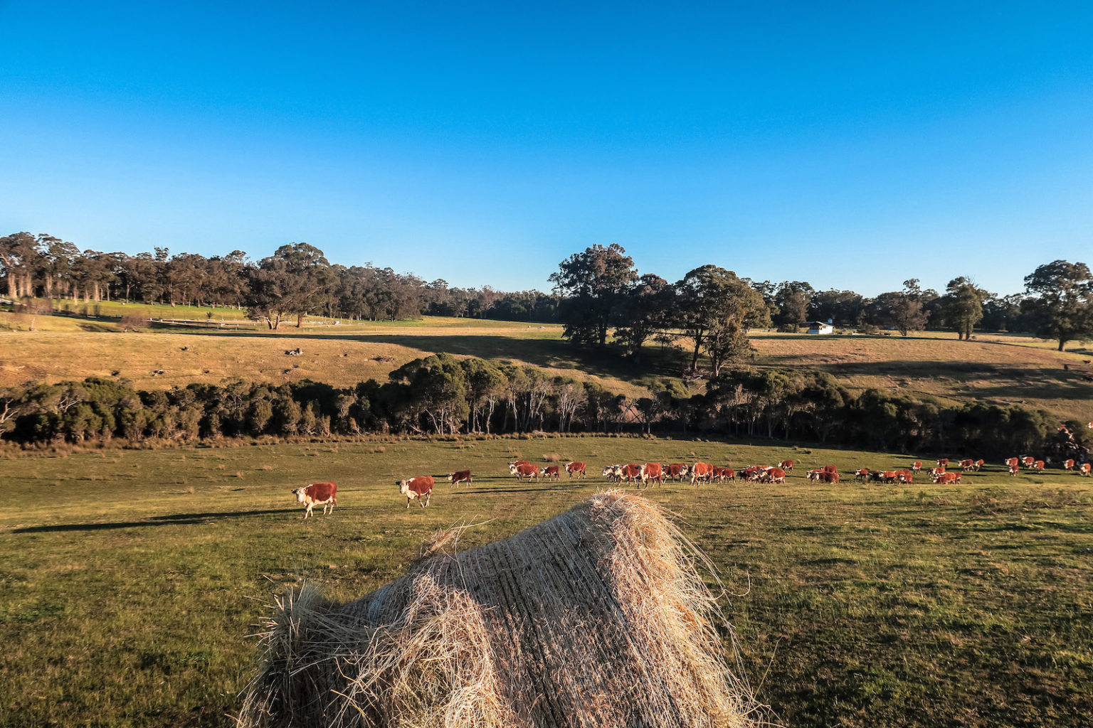 tostaree_cows pasture